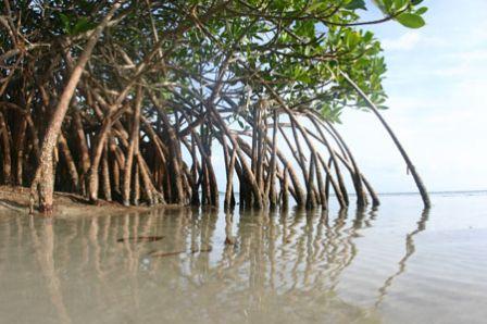 Marée noire : la mangrove en danger de mort